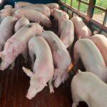 Giá lợn hơi hôm nay 3/8: Ghi nhận mức giảm nhẹ tại cả ba miền Bắc, miền Trung – Tây Nguyên và miền Nam