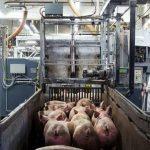Đức dừng xuất khẩu thịt lợn sang thị trường ngoài EU