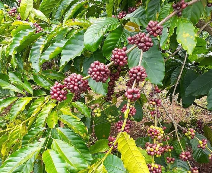 Xuất khẩu lô cà phê đầu tiên sang châu Âu theo Hiệp định EVFTA