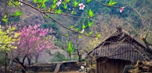 Đào rừng và đào trồng sẽ được phân biệt bằng tem nhãn, truy xuất nguồn gốc