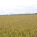 Xuất khẩu gạo 4 tháng: Giá trị tăng dù lượng giảm